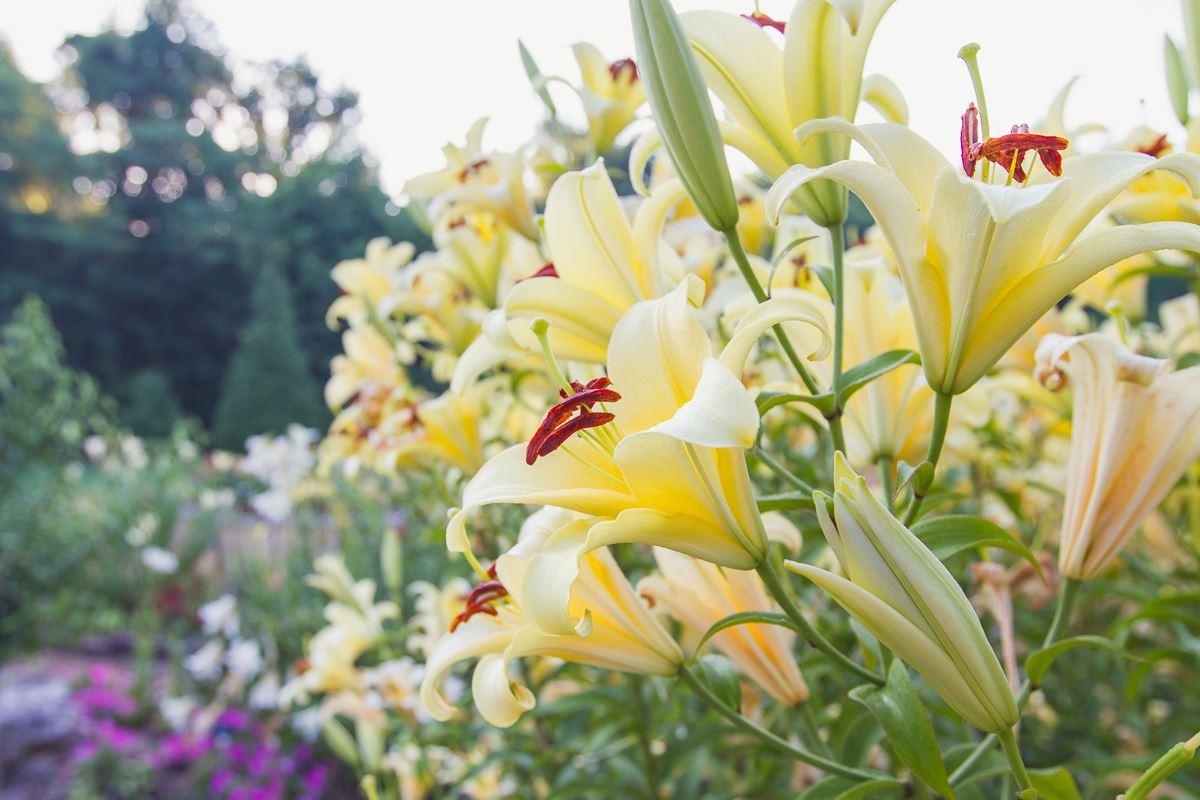 Lily Garden | Springfield-Greene County Park Board on japanese zen garden, design your garden, flower garden, designing an office,