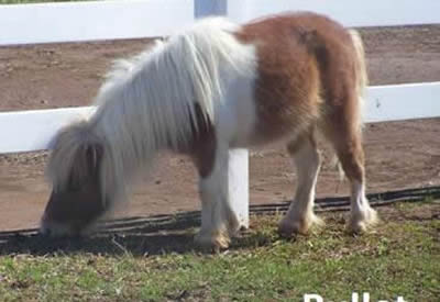 Bullet the Miniature Horse