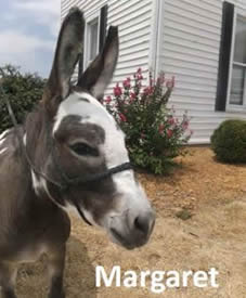 Margaret the Miniature Donkey